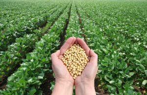 Soybean-Thailand
